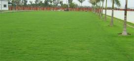 Cỏ Nhung Nhật và những điều bạn nên biết trong trang trí sân vườn