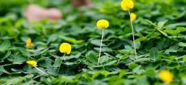 Cỏ Đậu Phộng, cỏ Hoàng Lạc những thông tin cần biết