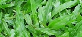 Cỏ lá gừng hay còn gọi cỏ lá tre, những điều cần biết trong khi trồng