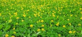 Những loại máy nào thích hợp để cắt cỏ Hoàng Lạc, cỏ Đậu Phộng