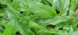 Những loại máy nào thích hợp để cắt cỏ lá gừng, cỏ lá tre