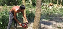 Máy cưa – công cụ hỗ trợ mua bán cây tạp thu về cả 100 triệu/tháng